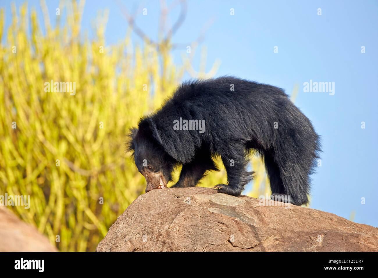 L'Asie, l'Inde, Karnataka, ours lippu ou ours lippu de l'Inde (Melursus ursinus) ours (Melursus ursinus) Photo Stock
