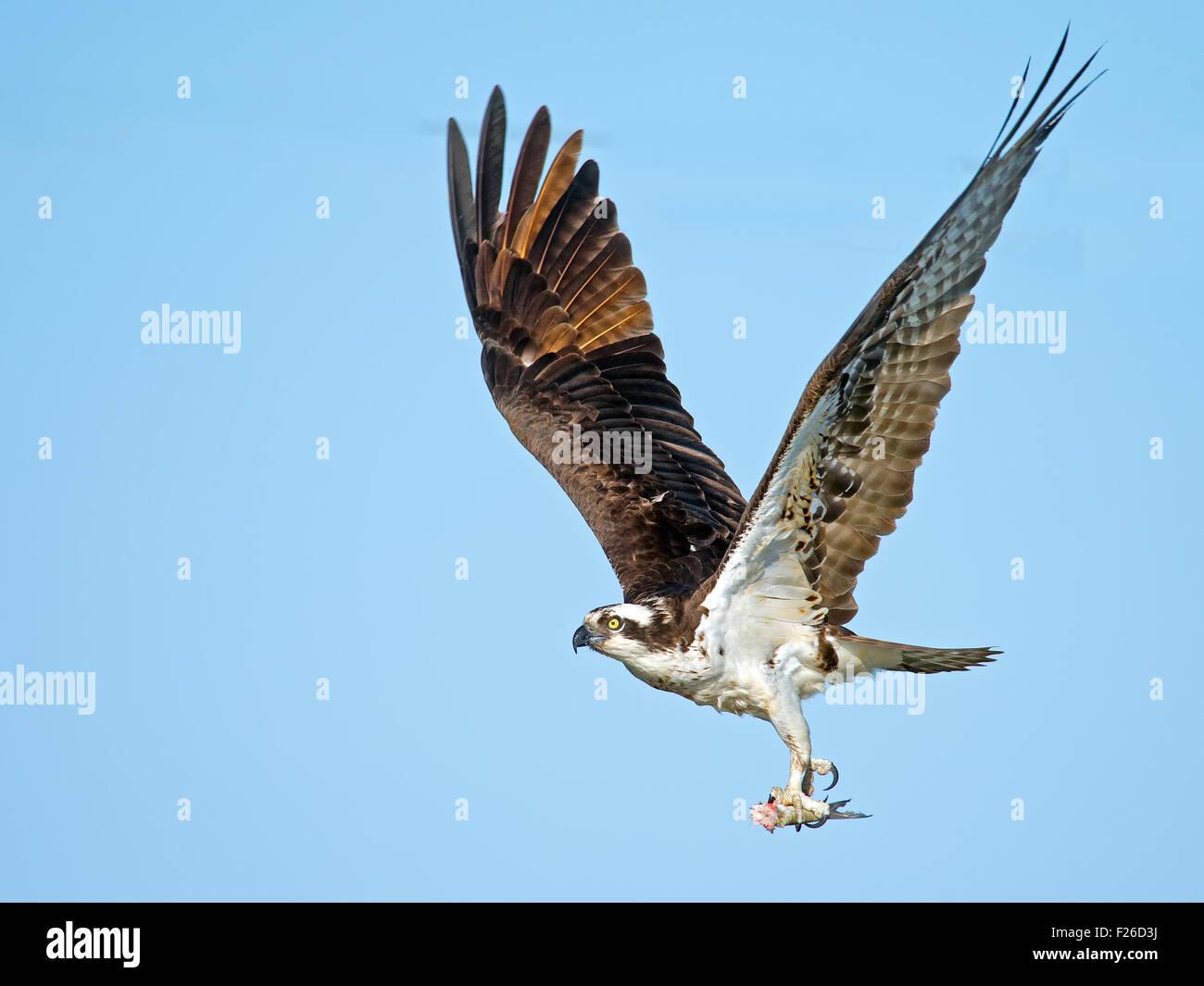 Osprey, avec le poisson sans tête Photo Stock