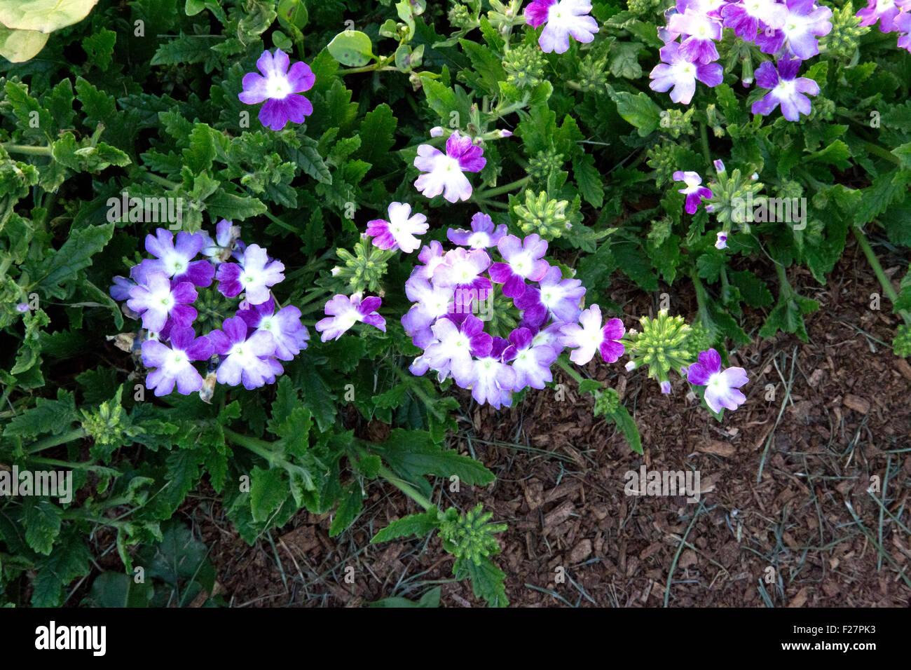 Plusieurs fleurs dans jardin Verveine Mauve - Twister Lanai Banque D ...