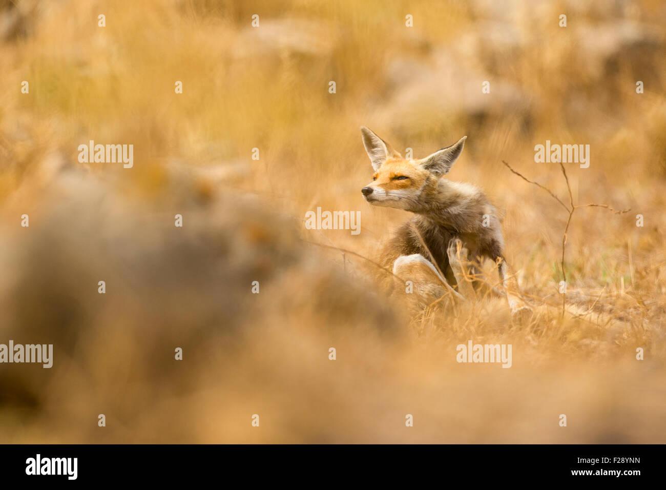 Le renard roux (Vulpes vulpes). Le renard roux est le plus grand des vrais renards, tout en étant le plus géographiquement Photo Stock