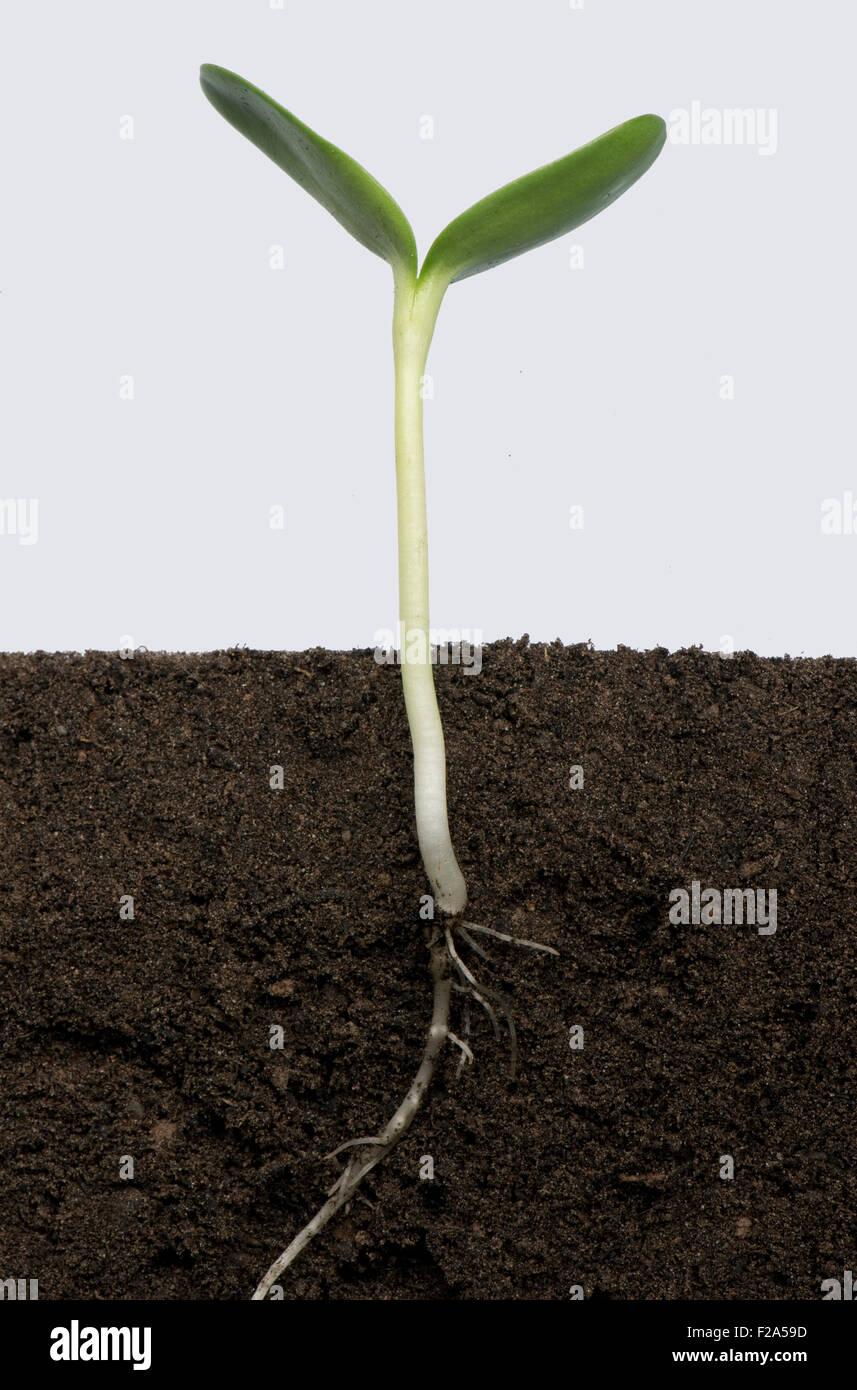 Des plantules de tournesol avec les cotylédons en expansion (numéro de série5) Photo Stock