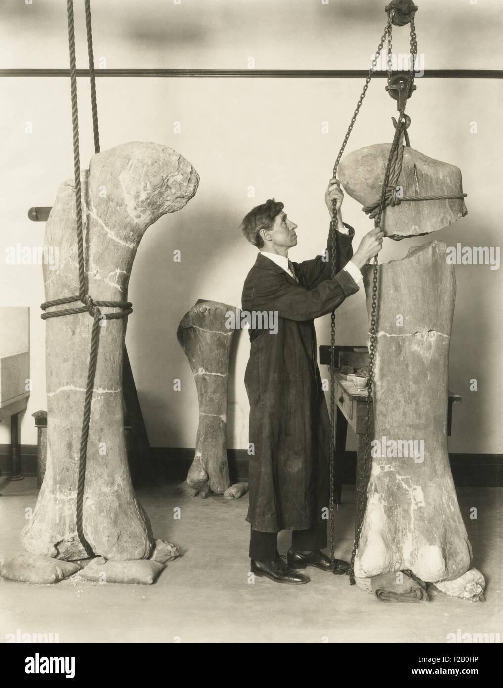 Le Dr J. B. Abbott, préparé des fossiles de dinosaures les os de cuisse pour l'affichage public au Photo Stock