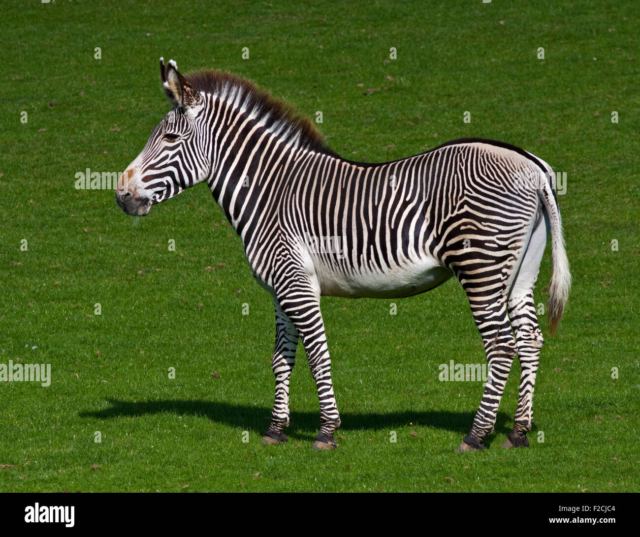 Le Zèbre de Grévy (Equus grevyi) Photo Stock