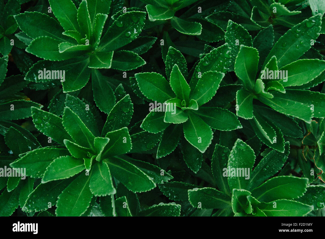 Plante verte avec des feuilles humides, Close up Photo Stock