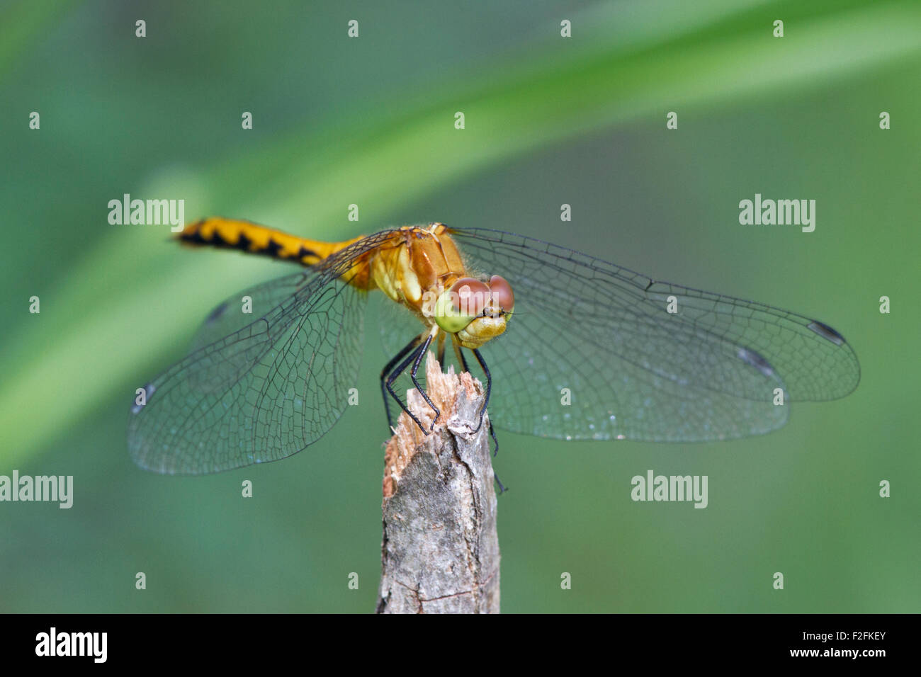Ruby Meadowhawk femelle Sympetrum (rubicundulum) Banque D'Images