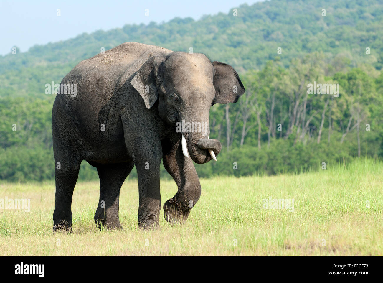 L'image de l'éléphant d'Asie (Elephas maximus) a été tourné en parc national Photo Stock
