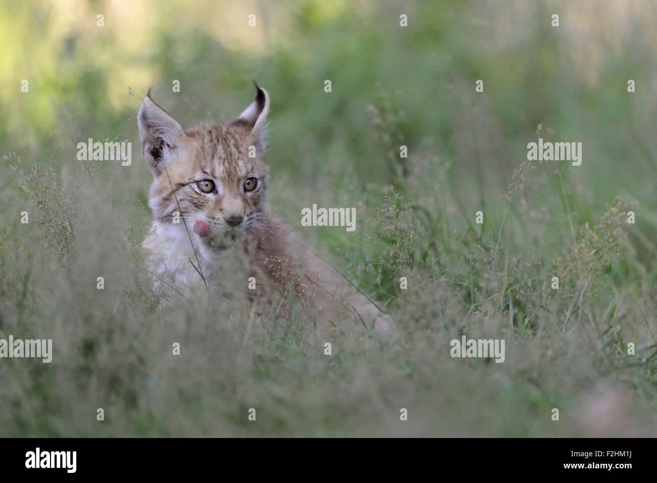 Les jeunes de cub Lynx Boréal / Eurasischer Luchs (Lynx lynx ) lèche sa langue trompeuse, a l'air drôle. Banque D'Images