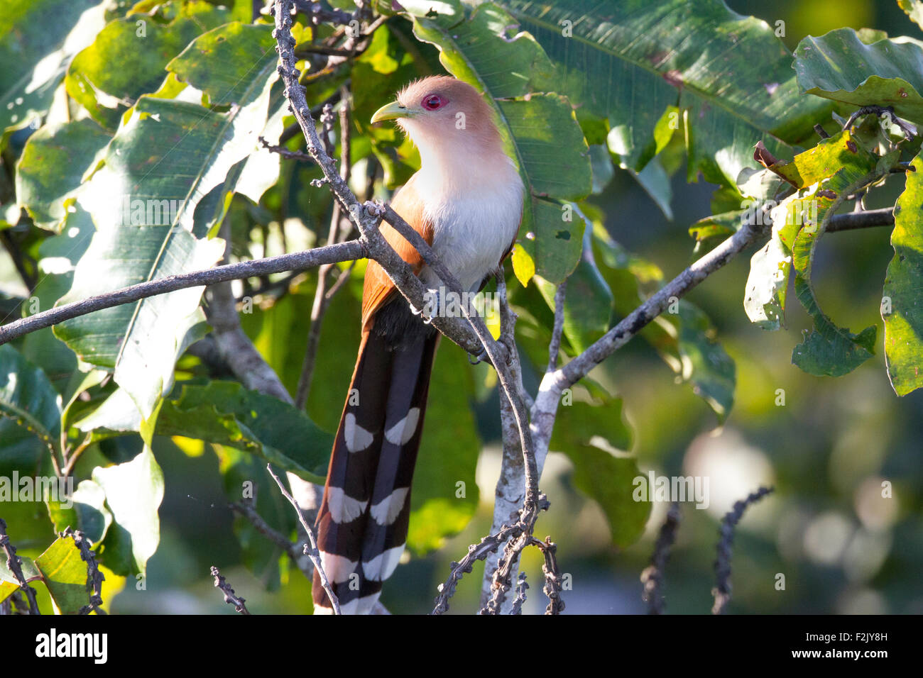 Piaya cayana squirrel cuckoo, dans la région de Tambopata le bassin amazonien du Pérou Photo Stock