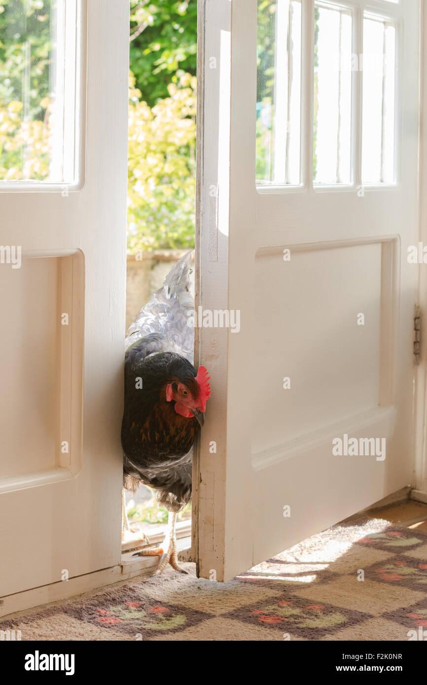 Poulet animal furtivement dans cuisine à travers la porte arrière ouverte Photo Stock