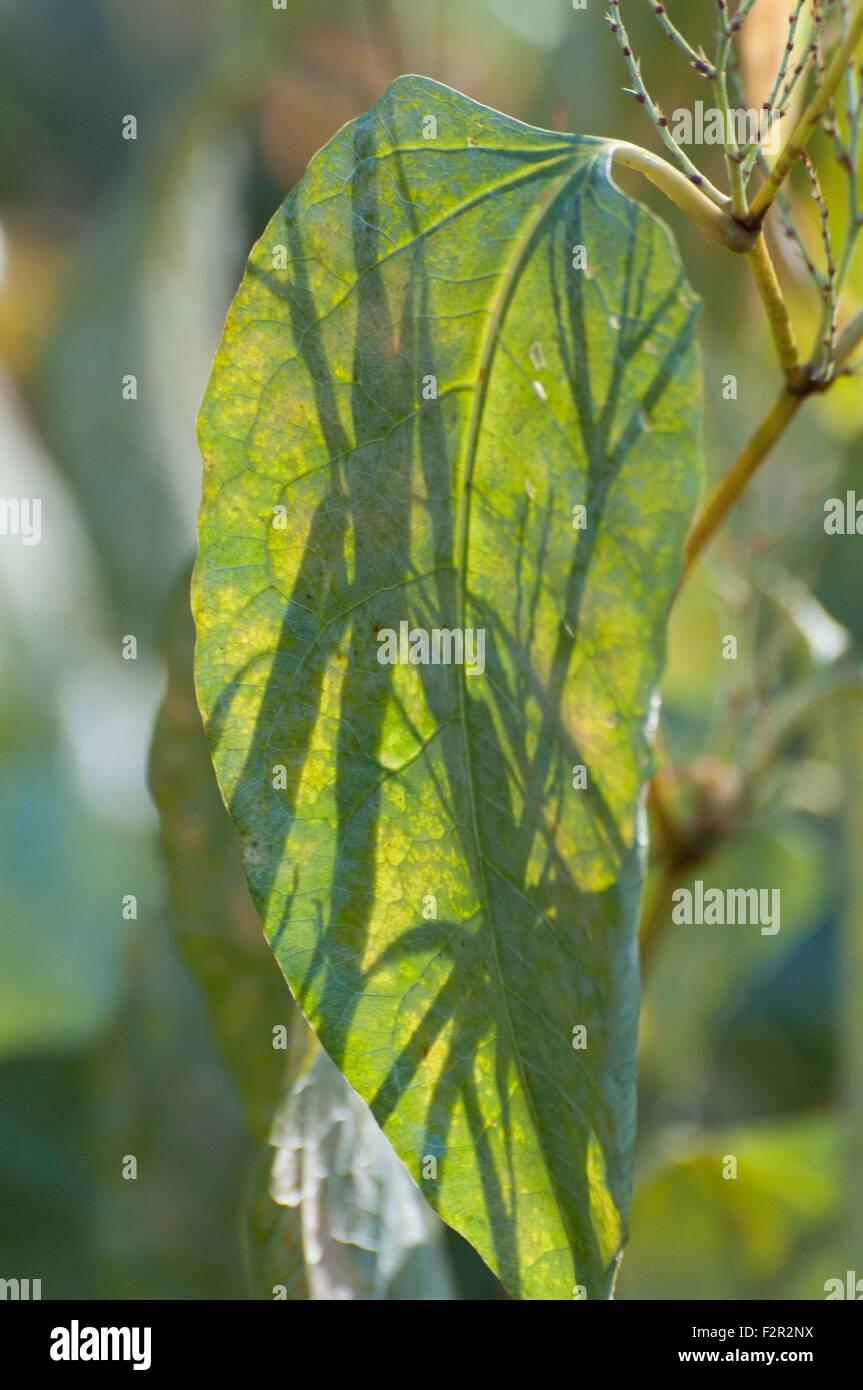 Ces grandes feuilles vertes sont lentement en train de mourir pour l'hiver à McLane Creek Trail situé Photo Stock