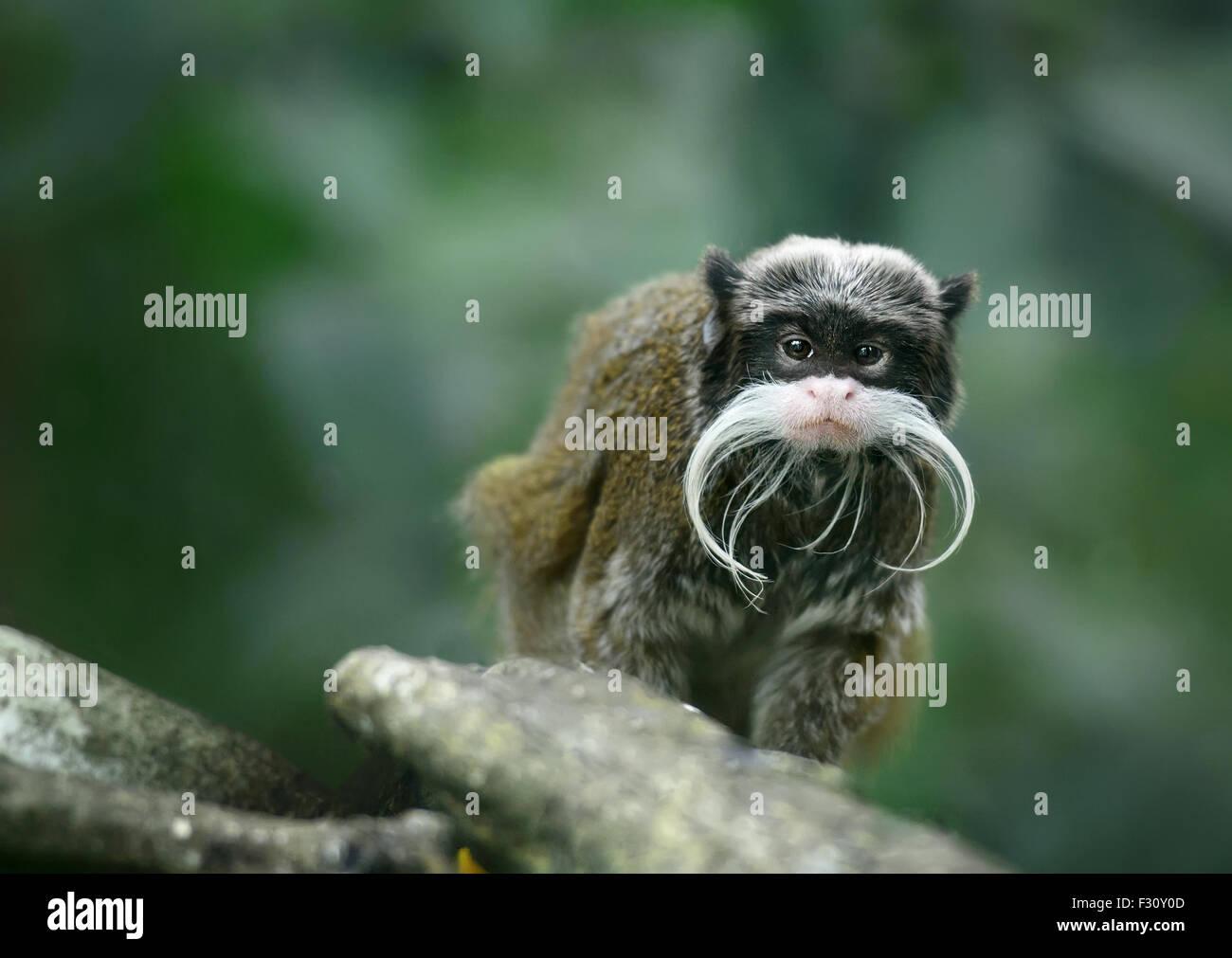 Singe tamarin empereur avec moustache drôle Photo Stock