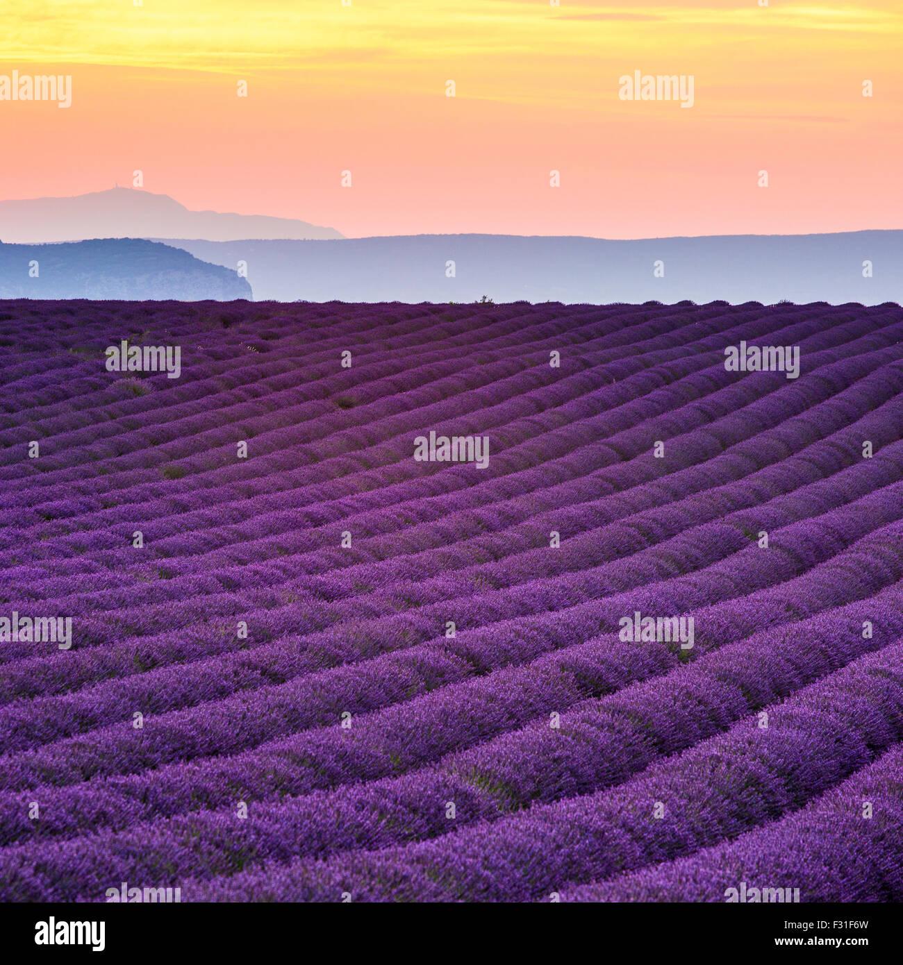 Provence, Plateau de Valensole, champ de lavande en fleurs Photo Stock