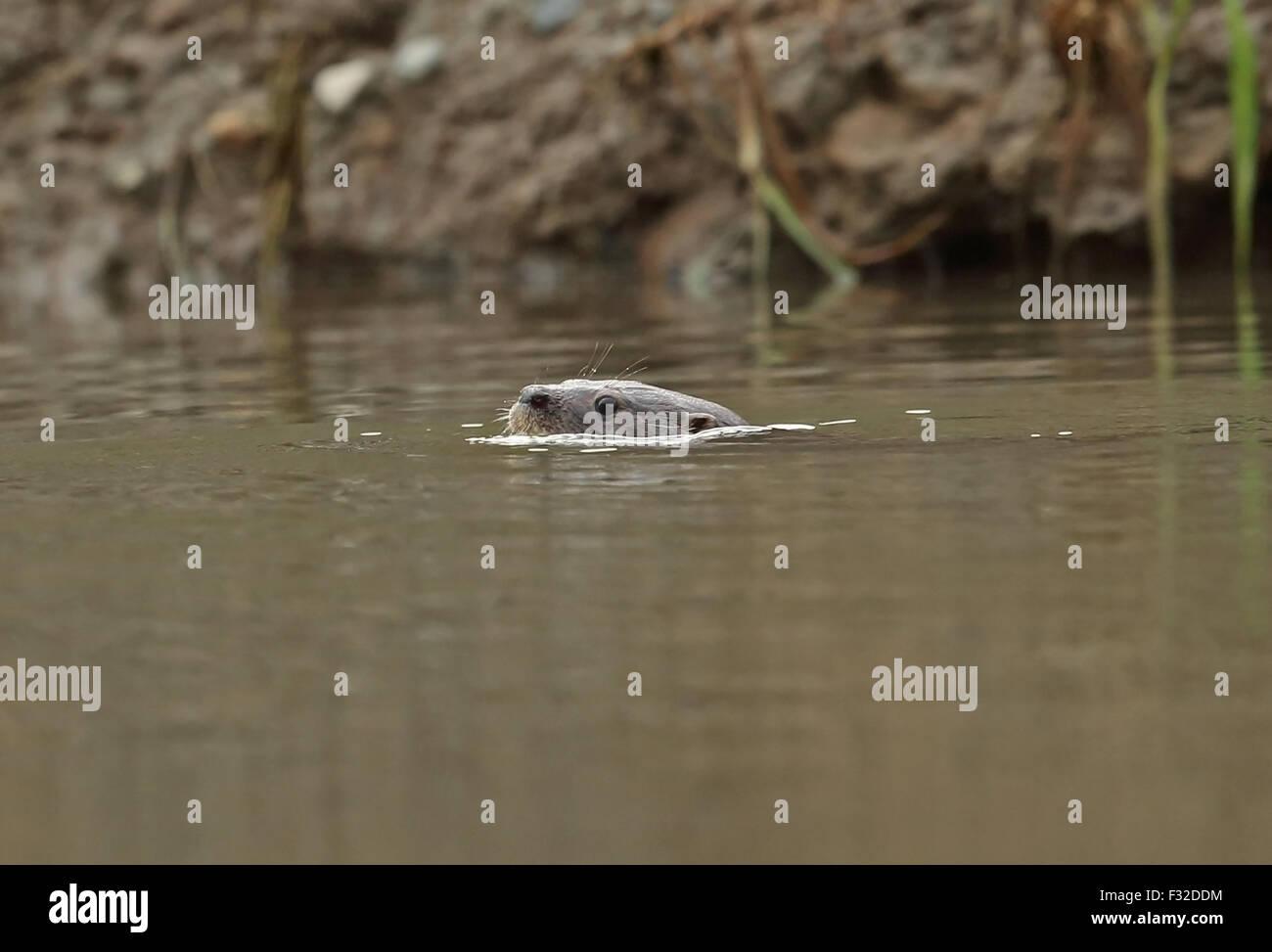 La loutre néotropicale (Lontra longicaudis annectens) adulte, nager à la surface de la rivière, fleuve Chucunaque, Darien, Panama, Avril Banque D'Images