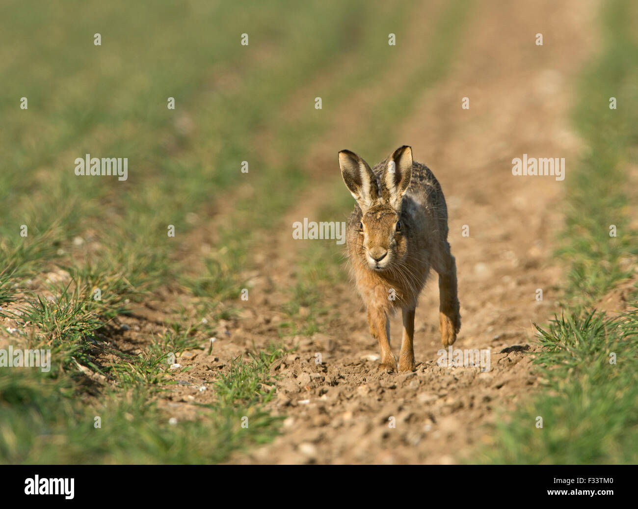 European Brown Hare, Lepus europaeus dans champ de blé d'hiver Mars UK Norfolk Photo Stock