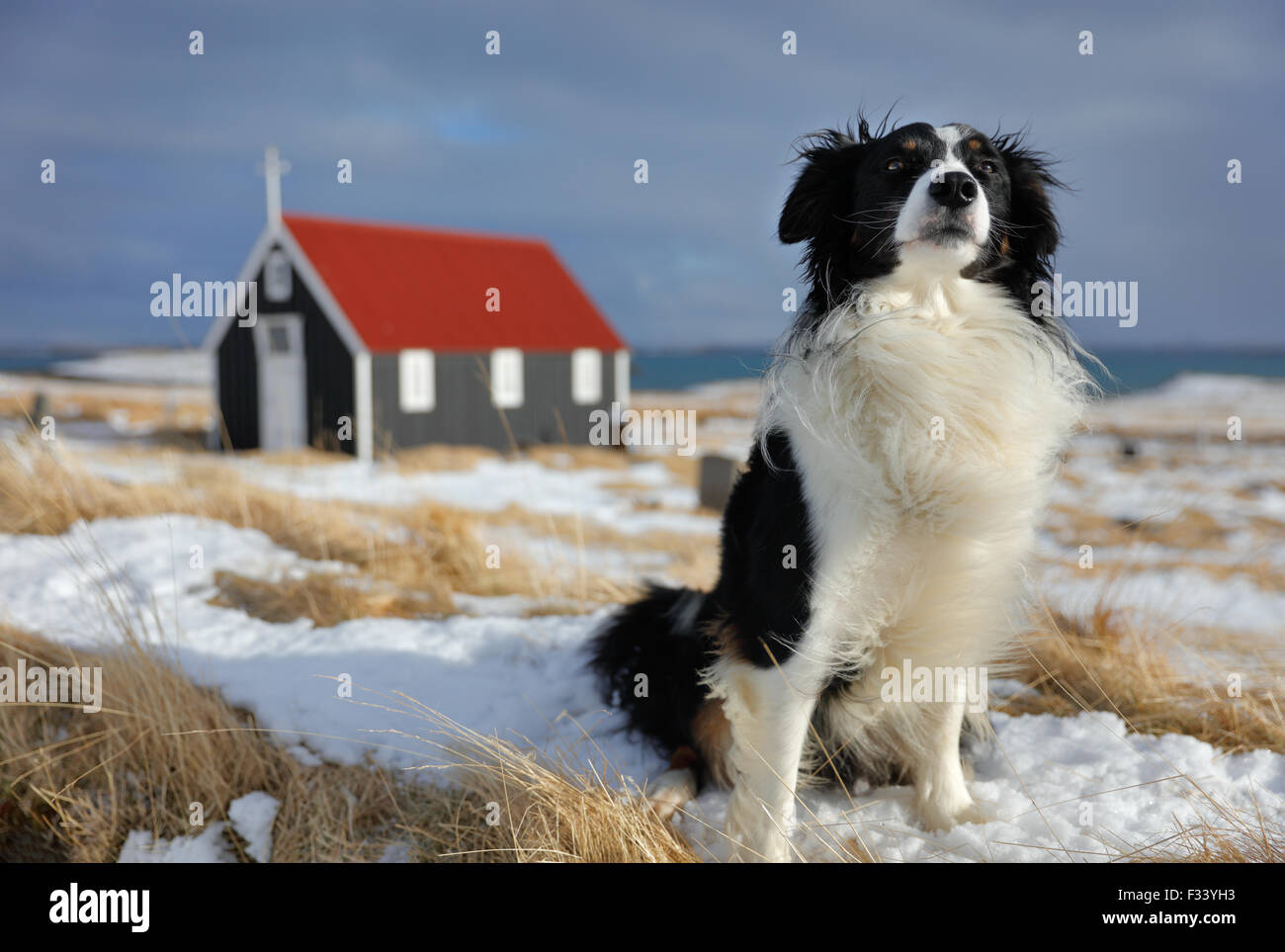 Un chien en face de l'église à Bjarnarhofn Snaefellsness, Iceland Photo Stock