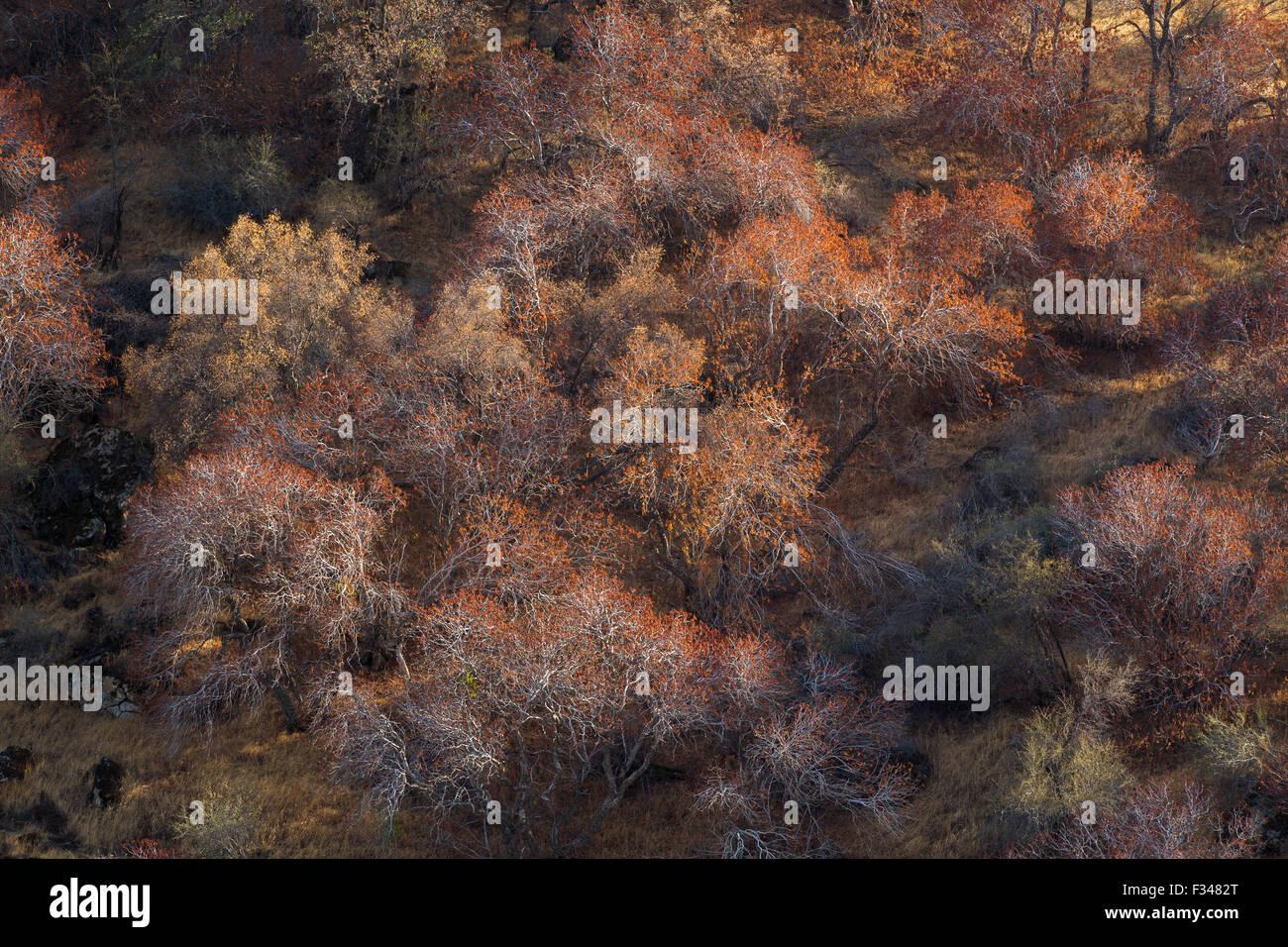 Arbres de Buckeye attraper la lumière de fin d'après-midi, Sequoia National Park, California, USA Photo Stock