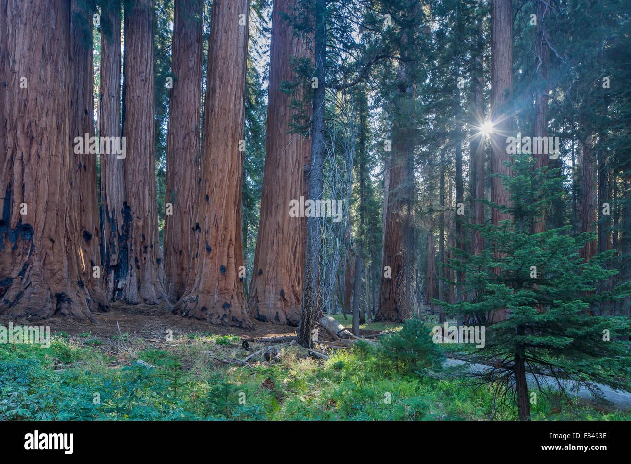 Le Groupe sénatorial d'arbres Séquoia géant sur la piste du Congrès à Sequoia National Park, Californie, USA Banque D'Images