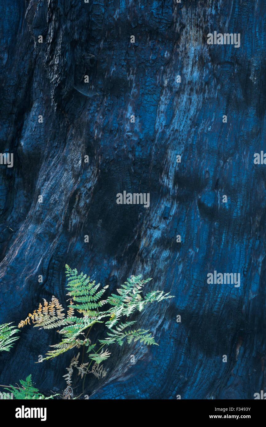 La vie et la mort une nouvelle croissance à côté de la scorched tronc d'un arbre sequoia tué Photo Stock