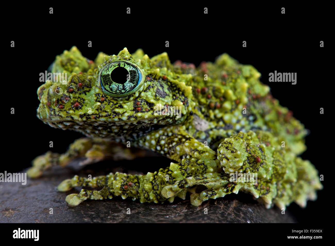 Theloderma corticale moussue (grenouille) Photo Stock