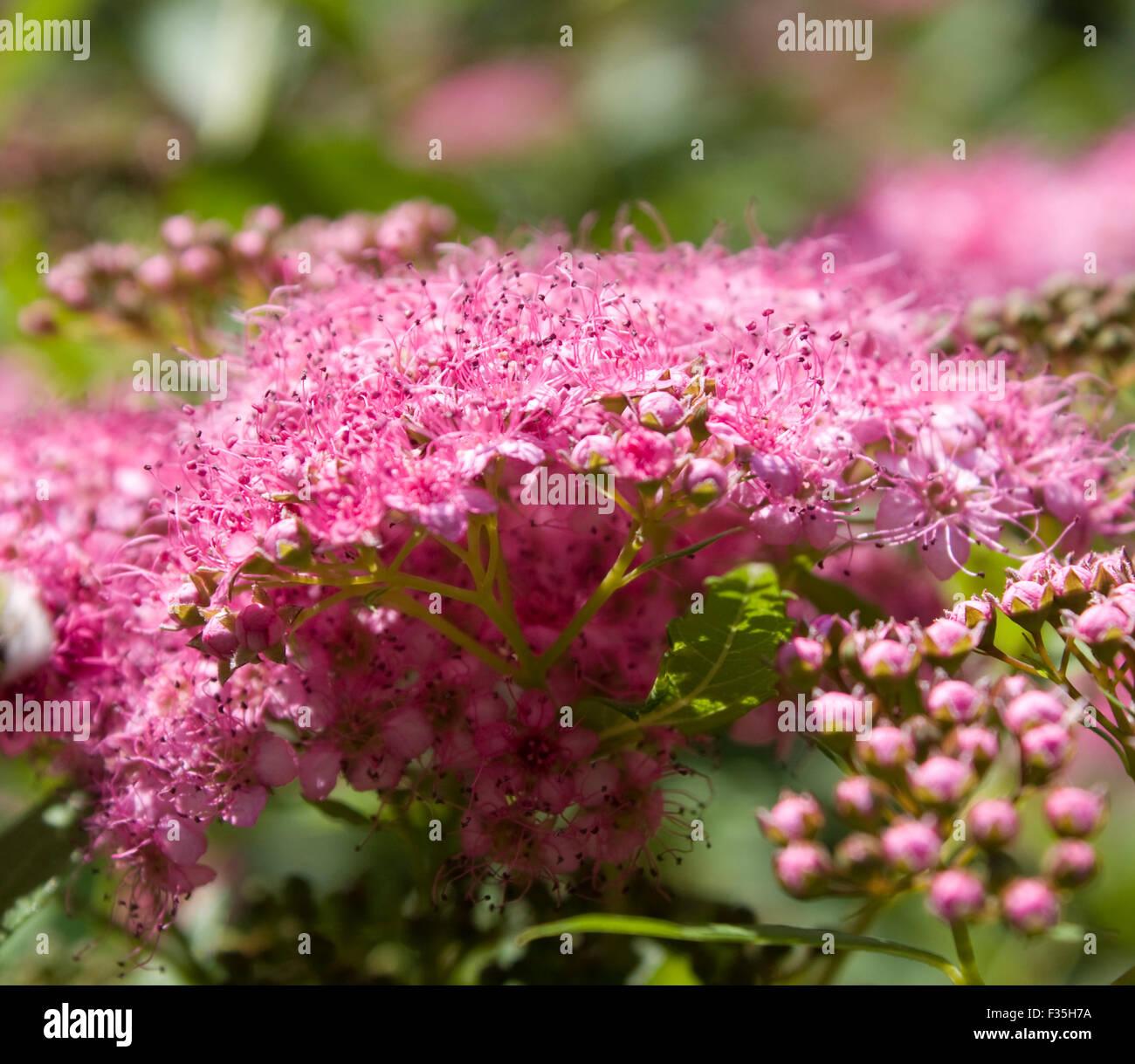 Plante Fleur De Spiree Japonaise Couleur Rose Banque D Images