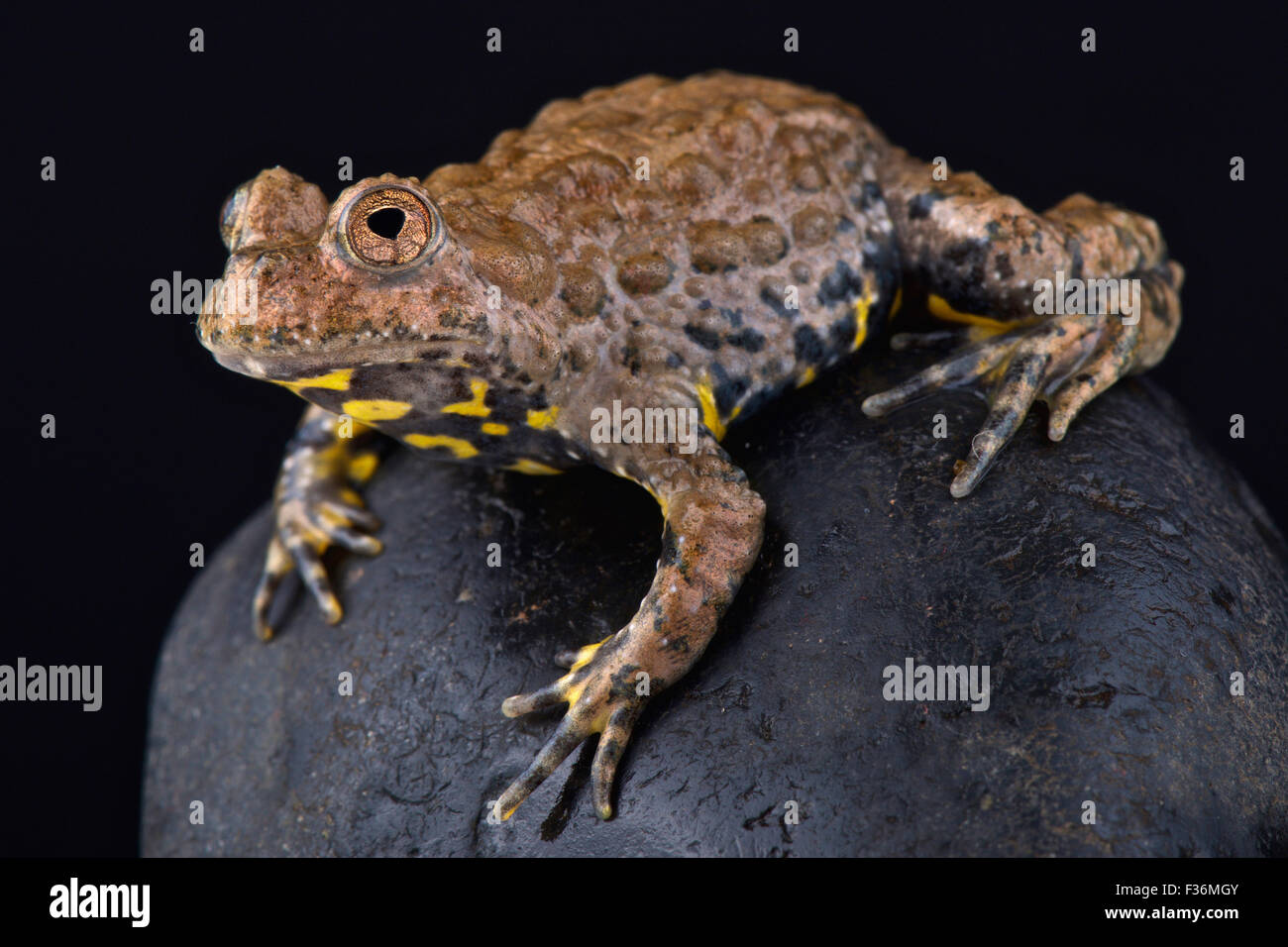 Yunnan fire-bellied toad (Bombina maxima) Photo Stock