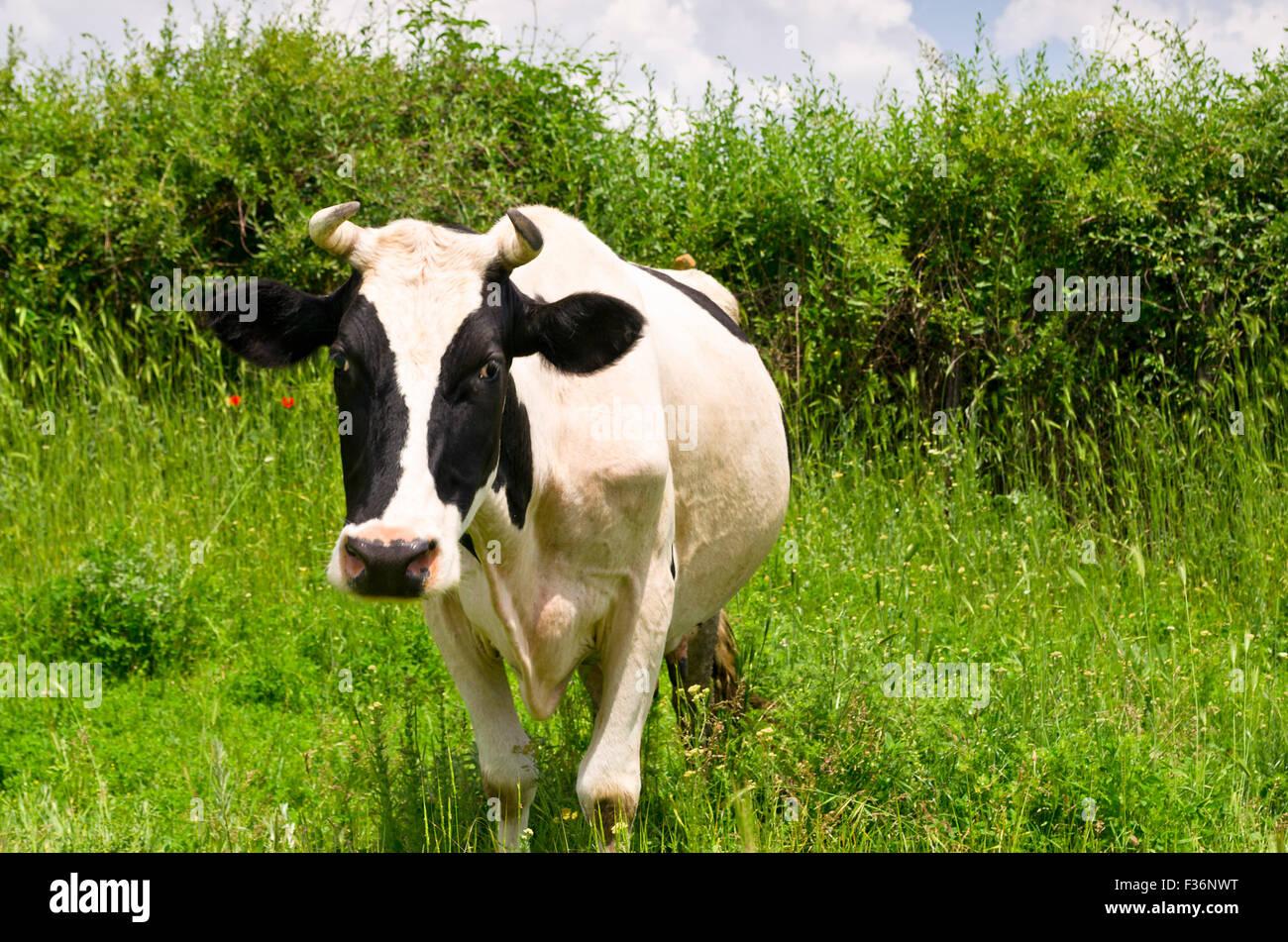 Une vache laitière curieux et le pâturage permanent dans son pâturage Photo Stock
