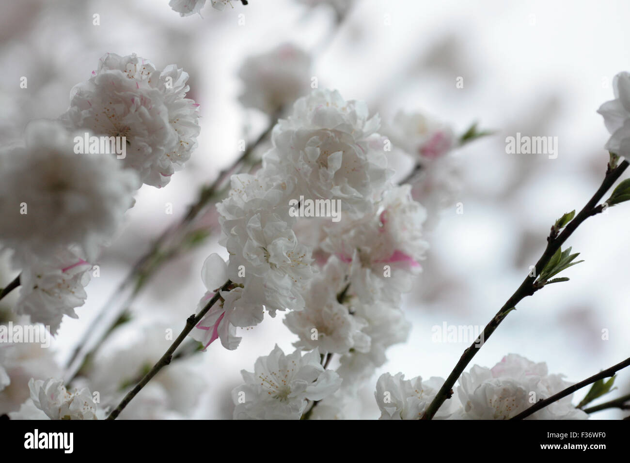 Fleur De Cerisier Blanc Sakura Avec Profondeur De Champ Banque D