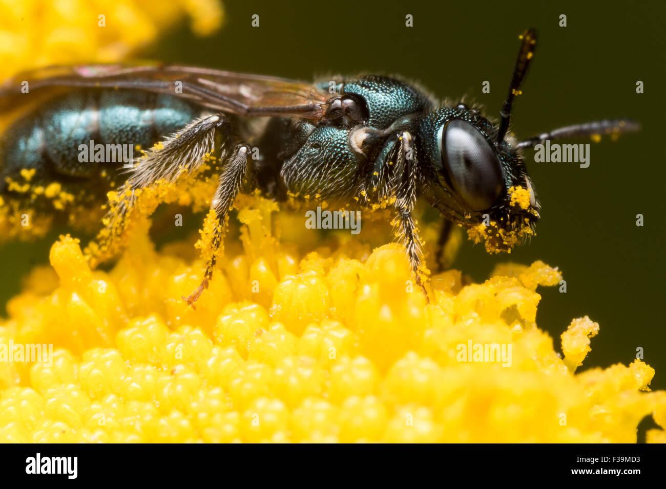 Sweat vert foncé (abeille Lasioglossum dialictus) extrait le pollen d'une fleur jaune Photo Stock