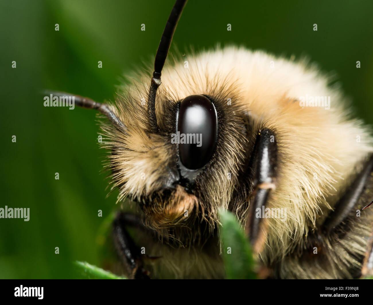 Bourdon de la fourrure dorée portrait Photo Stock