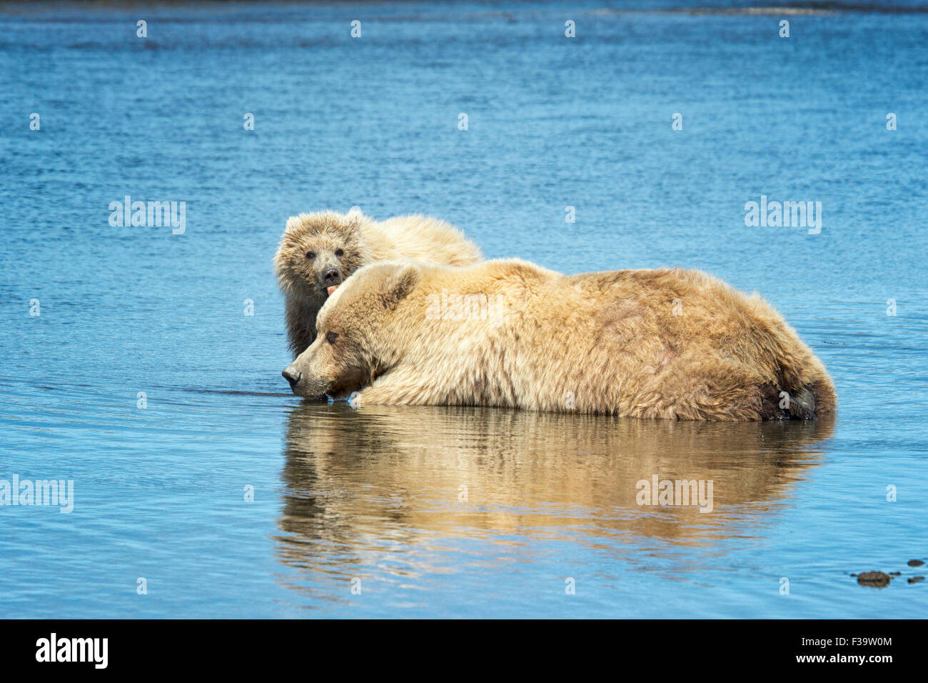 Grizzly Bear Cub Printemps mignon, Ursus arctos, léchant sa mère, Lake Clark National Park, Alaska, USA Photo Stock