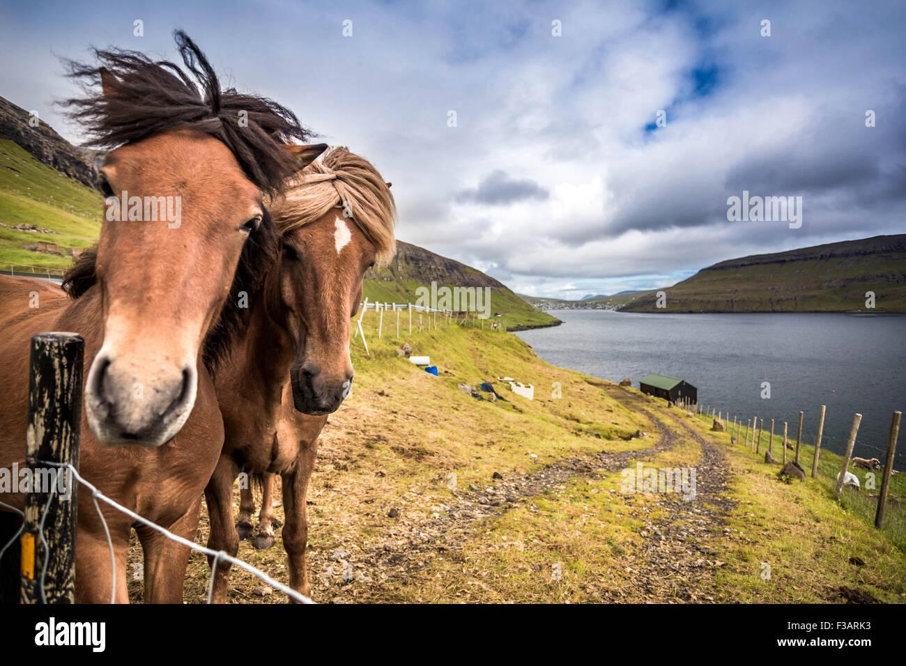 Chevaux sur les îles Féroé Photo Stock