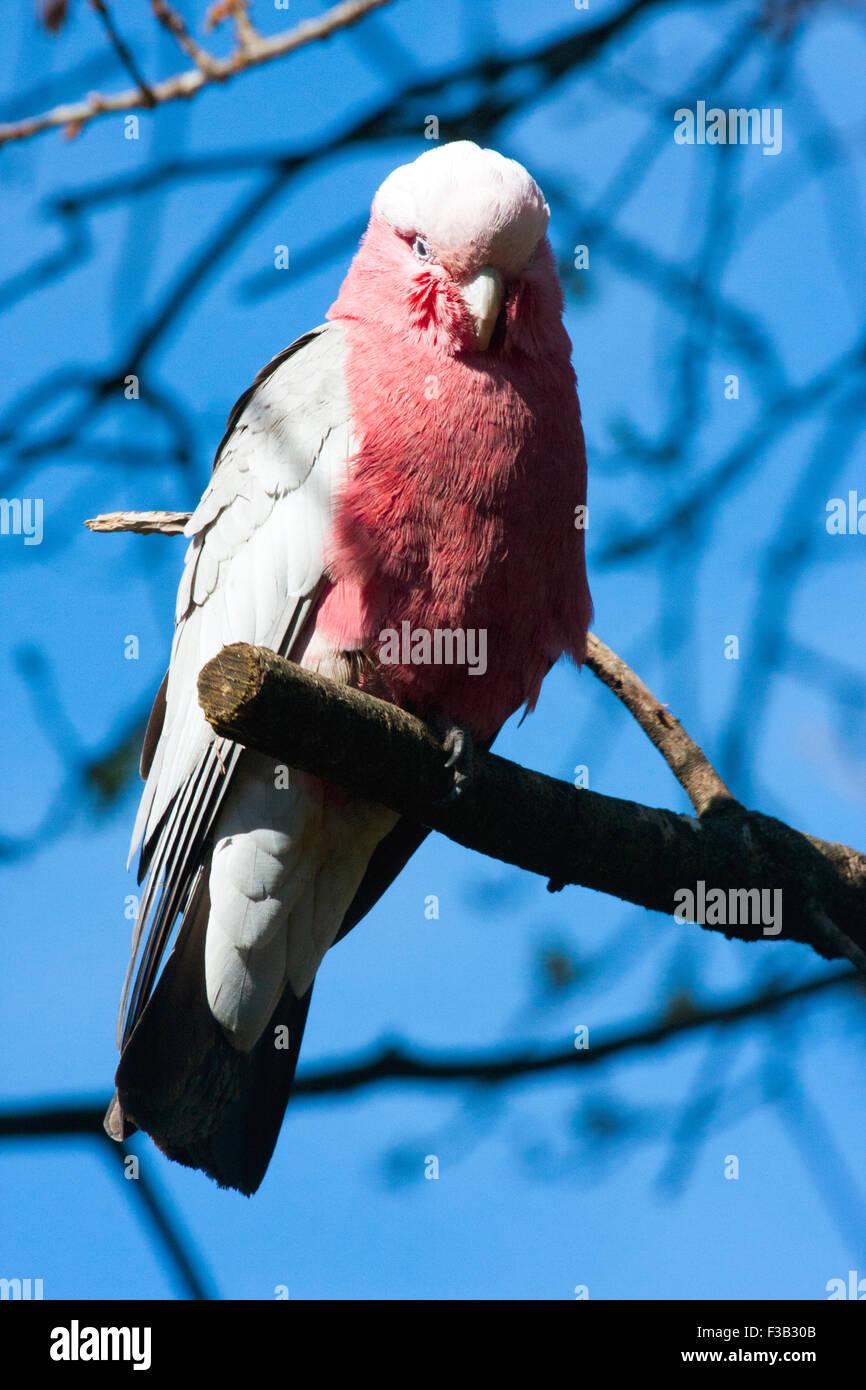 Cacatoès cacatoès rosalbin en arbre australien Banque D'Images