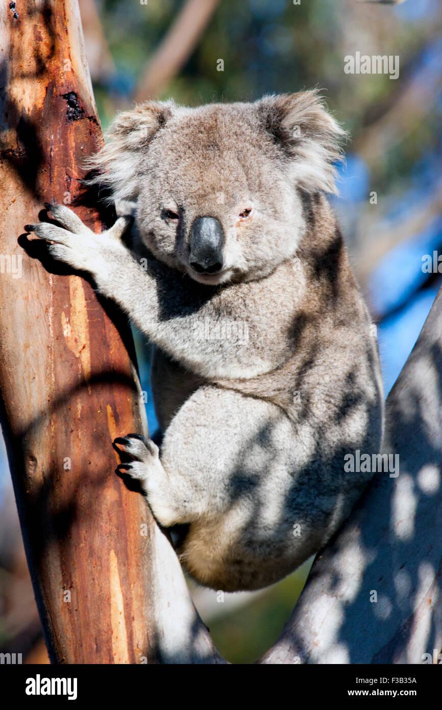 Koala dans un arbre d'eucalyptus en Australie Banque D'Images
