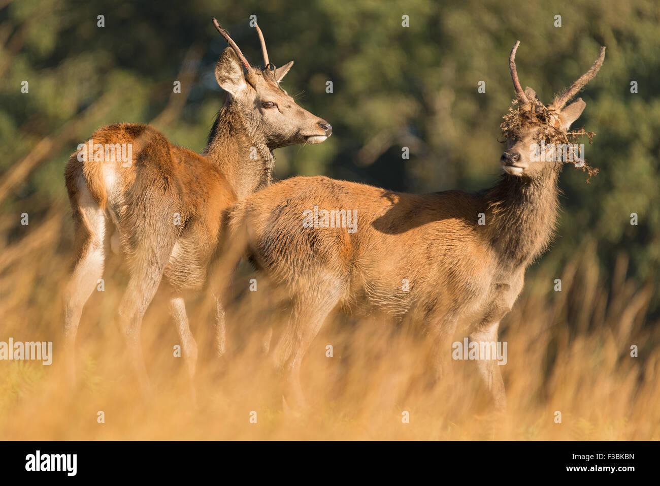 Deux jeunes cerfs cerf rouge Photo Stock