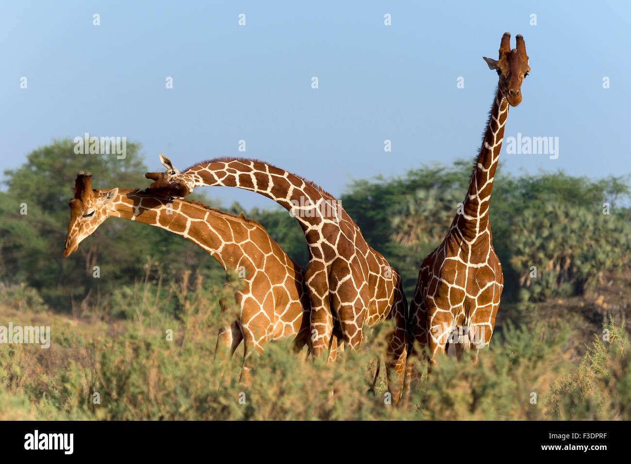 Trois girafes somaliens ou girafes Giraffa reticulata réticulée (girafe), Samburu National Reserve, Kenya Banque D'Images