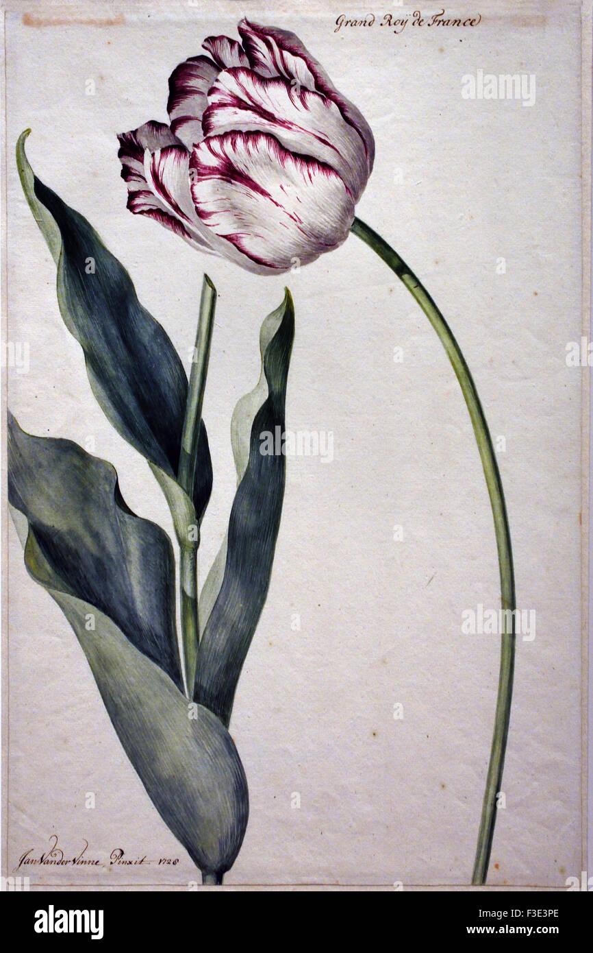 Tulip Grand Roy De France Jan Laurensz Van Der Vinne 1728 Un