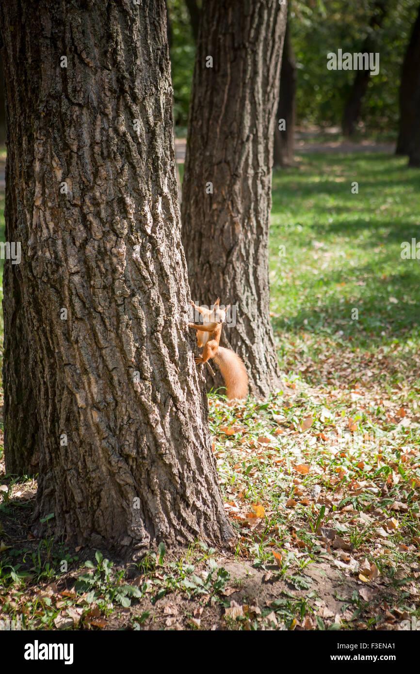 Photo de l'arbre d'escalade d'écureuil Photo Stock