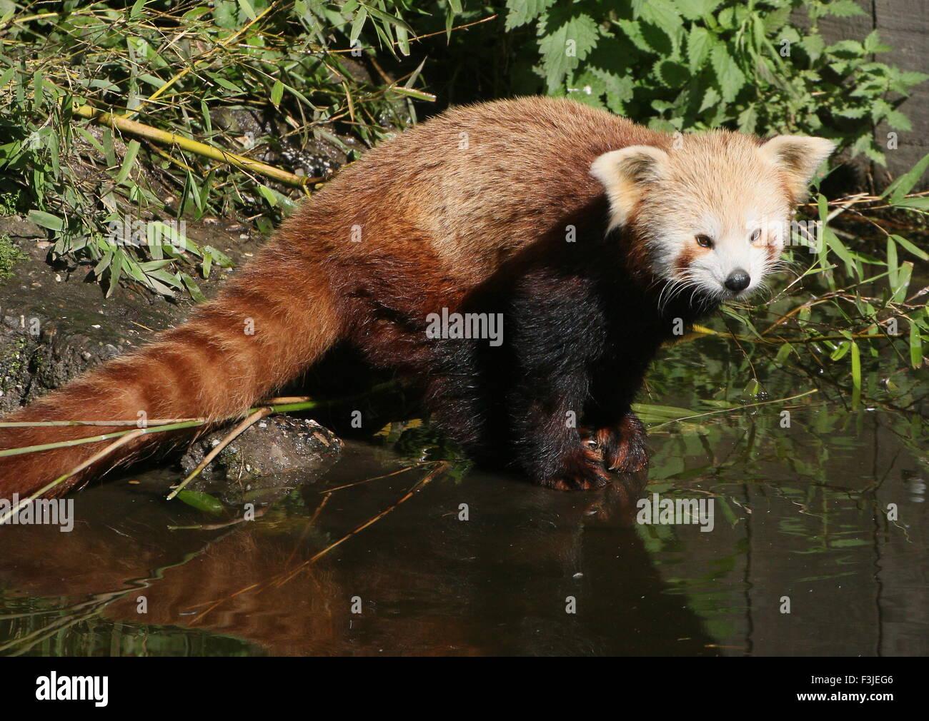 Panda rouge asiatique (Ailurus fulgens) au bord de l'eau Photo Stock
