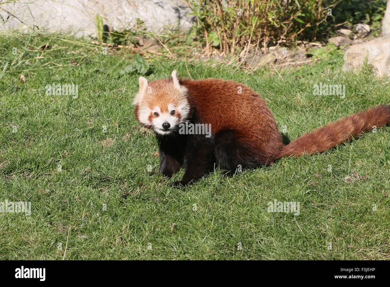 Panda rouge asiatique (Ailurus fulgens) Photo Stock