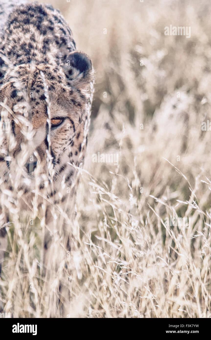 Des profils le guépard, Acinonyx jubatus, regardant à travers les hautes herbes, la Namibie, l'Afrique Photo Stock