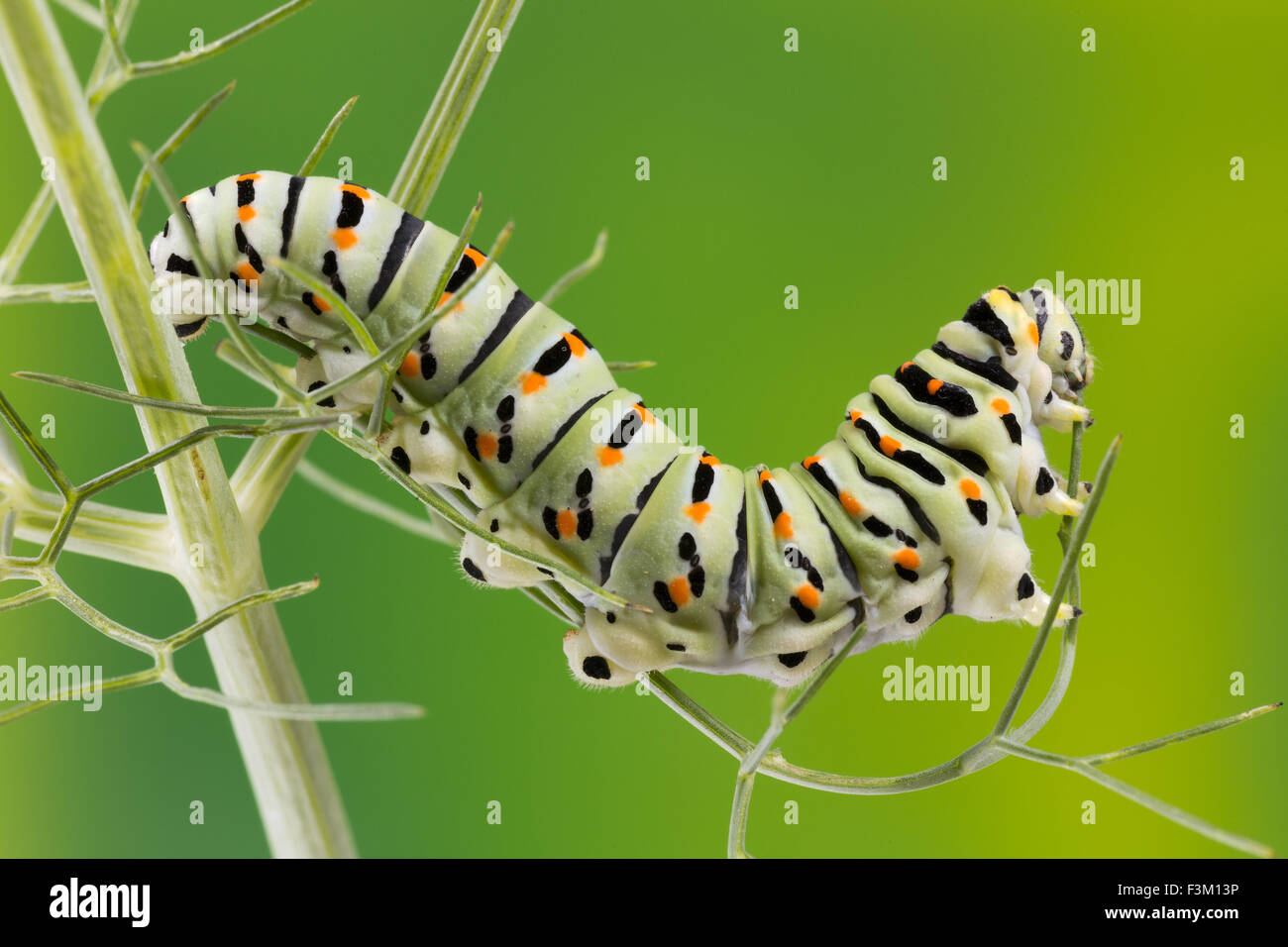 La chenille de papillon du machaon maltais de manger les feuilles de fenouil, 10 jours après l'éclosion, Photo Stock