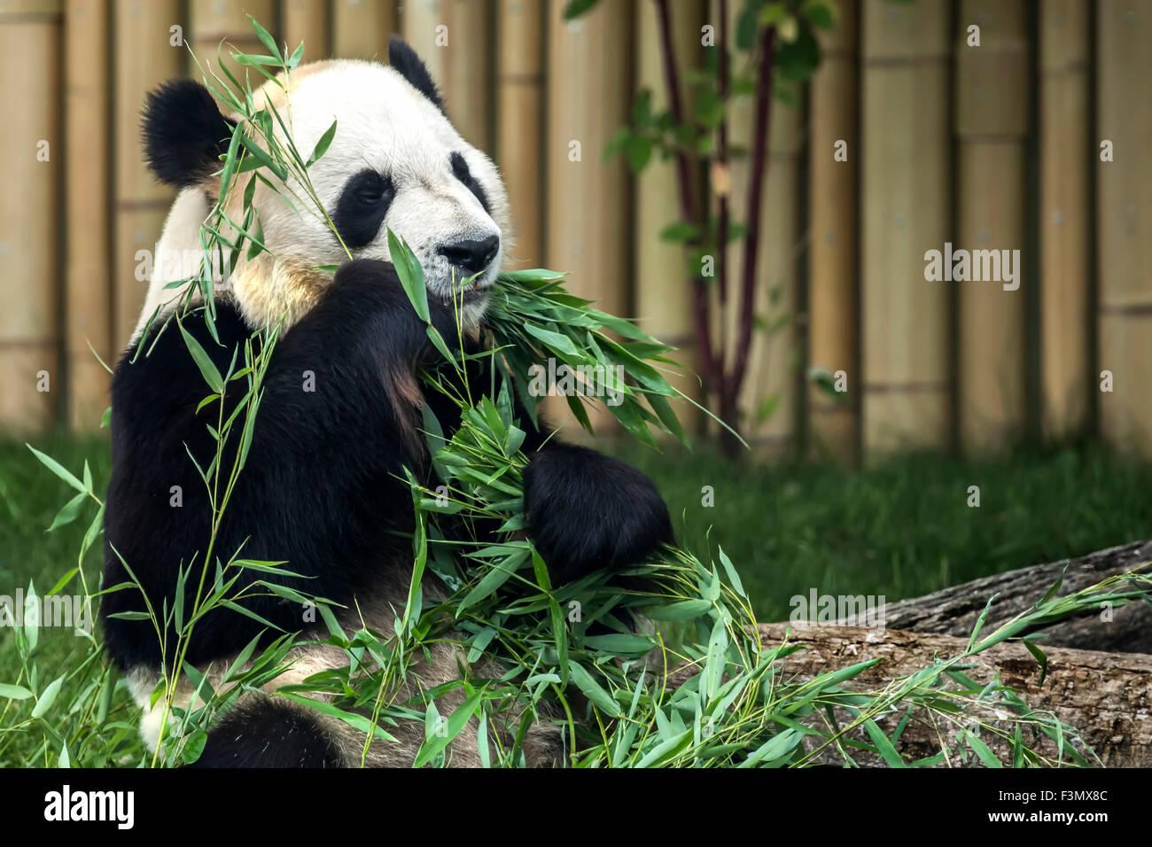 Panda géant au zoo local, manger des pousses de bambou. Photo Stock