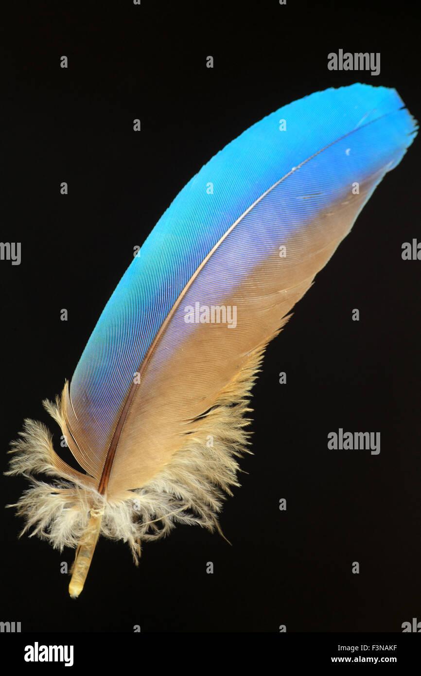 Belle plume d'oiseau (fond noir) Photo Stock