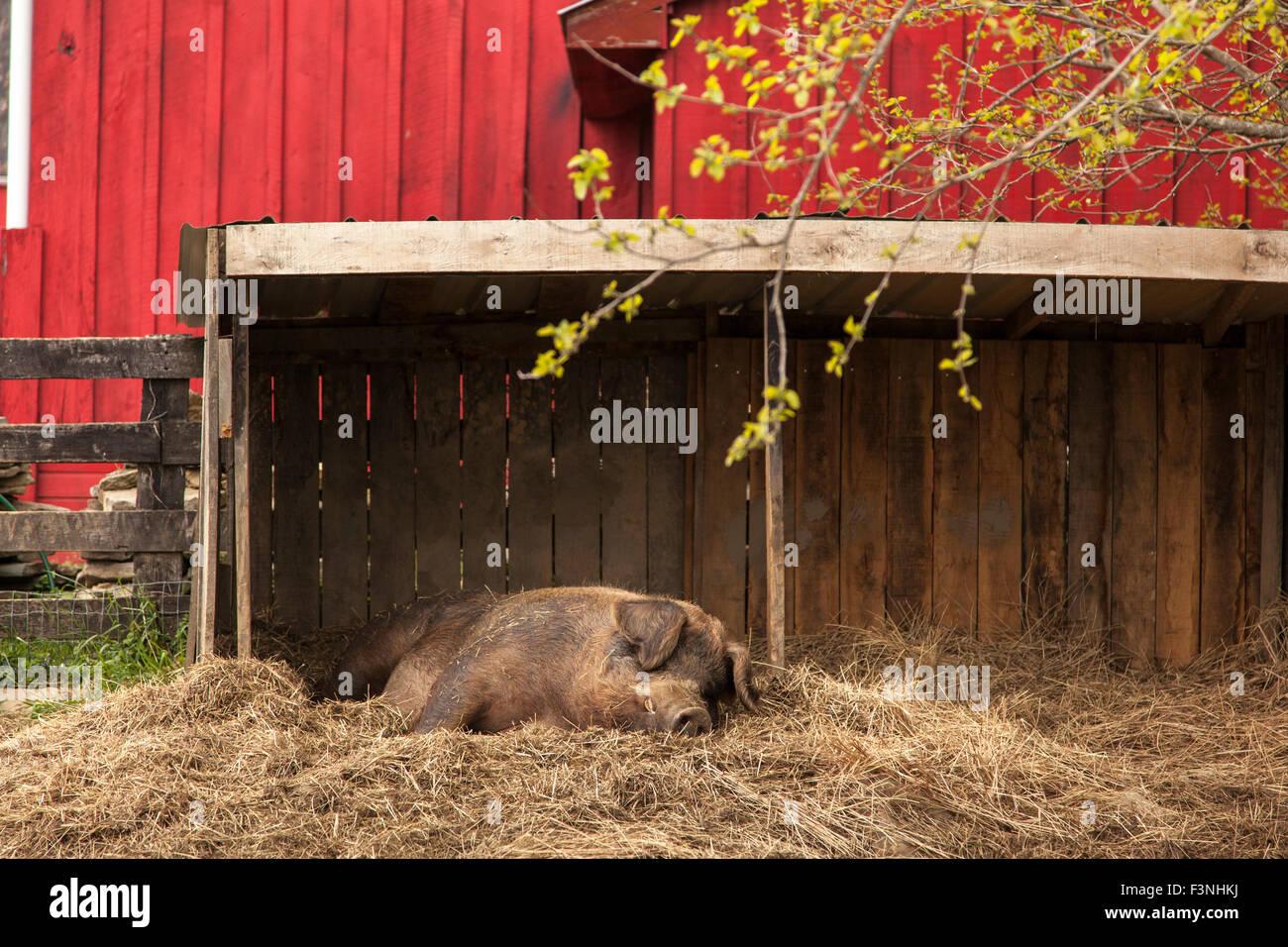 Cochon paresseux à la ferme en Virginie Photo Stock