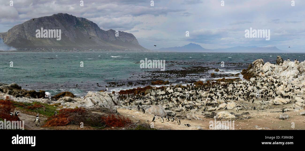 Colonie de pingouins, Western Cape, Afrique du Sud Photo Stock