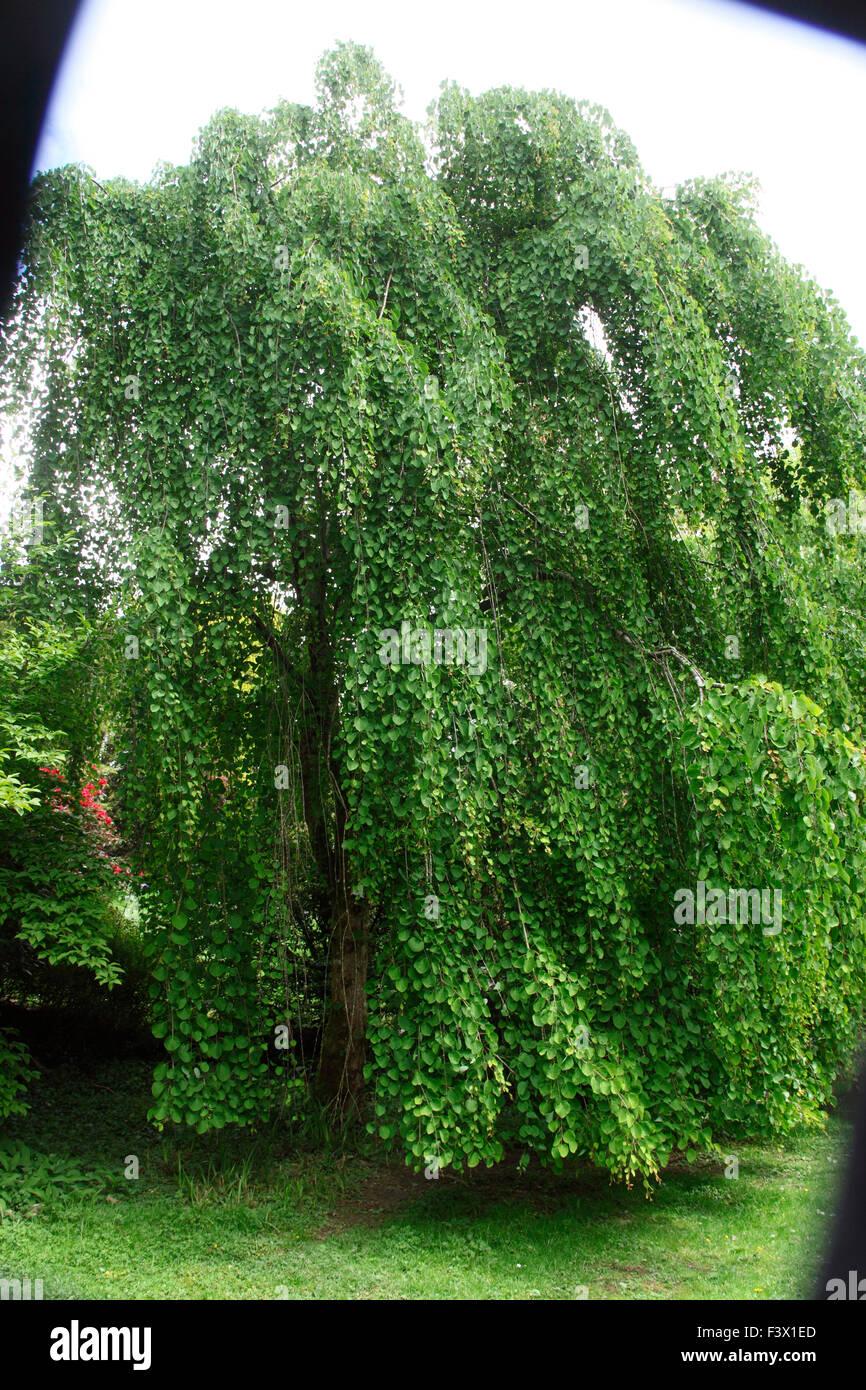 Cercidiphyllum japonicum Katsura arbre arbre pleureur; dans les feuilles Photo Stock