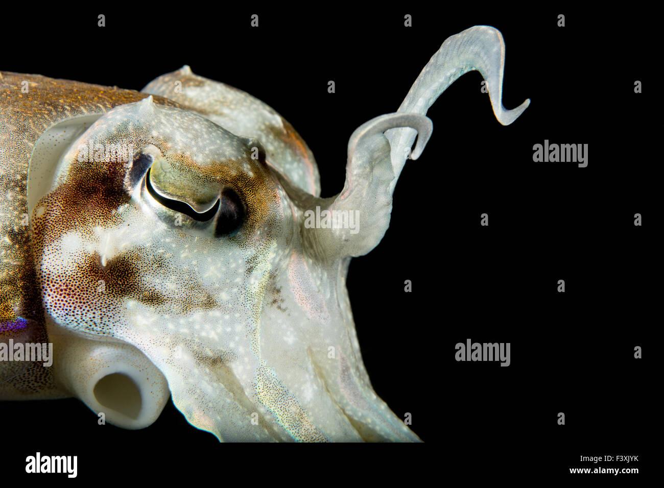 Broadclub menaçant Seiche Afficher tentacules sur fond noir Photo Stock