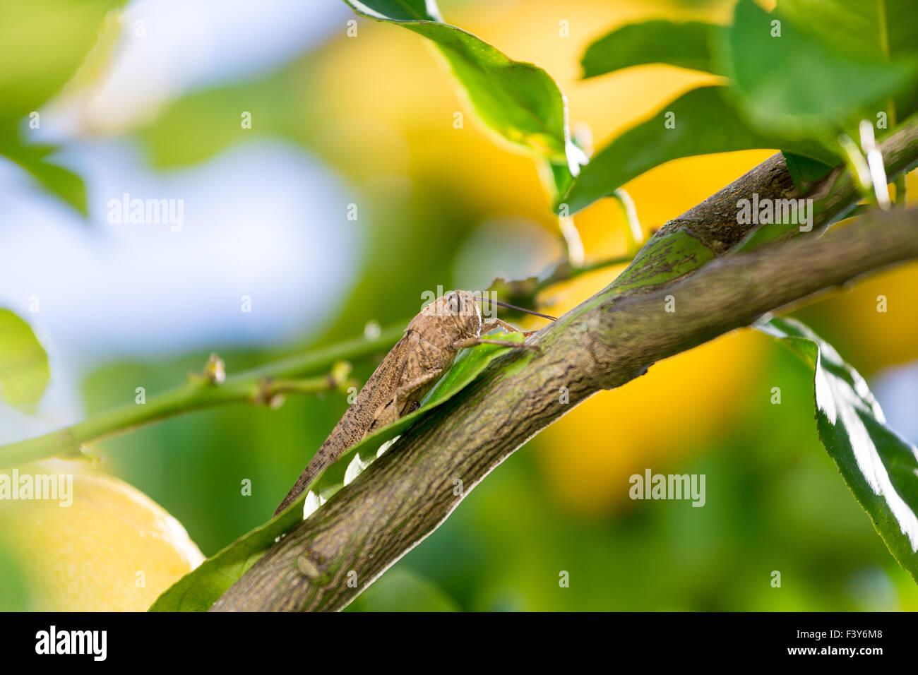 Locust est assis sur une branche de Citronnier Banque D'Images