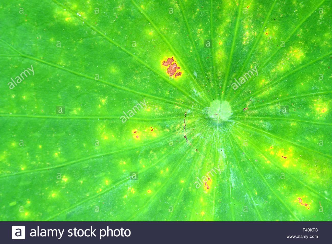 Les veines de la feuille de lotus. Photo Stock
