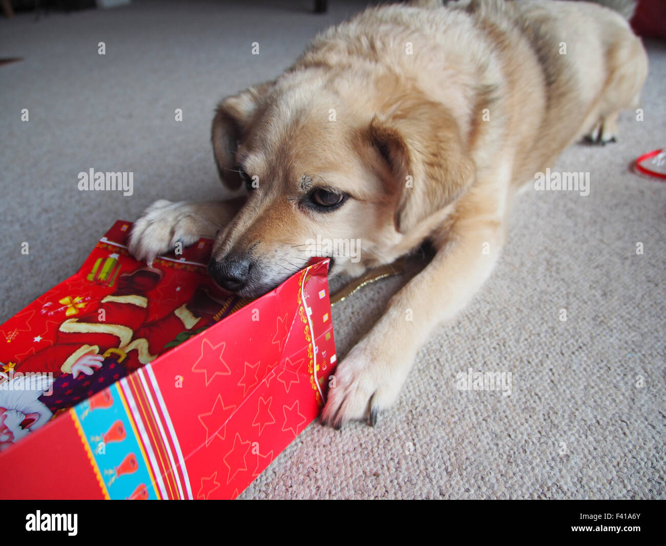 Chien avec un cadeau de Noël Photo Stock